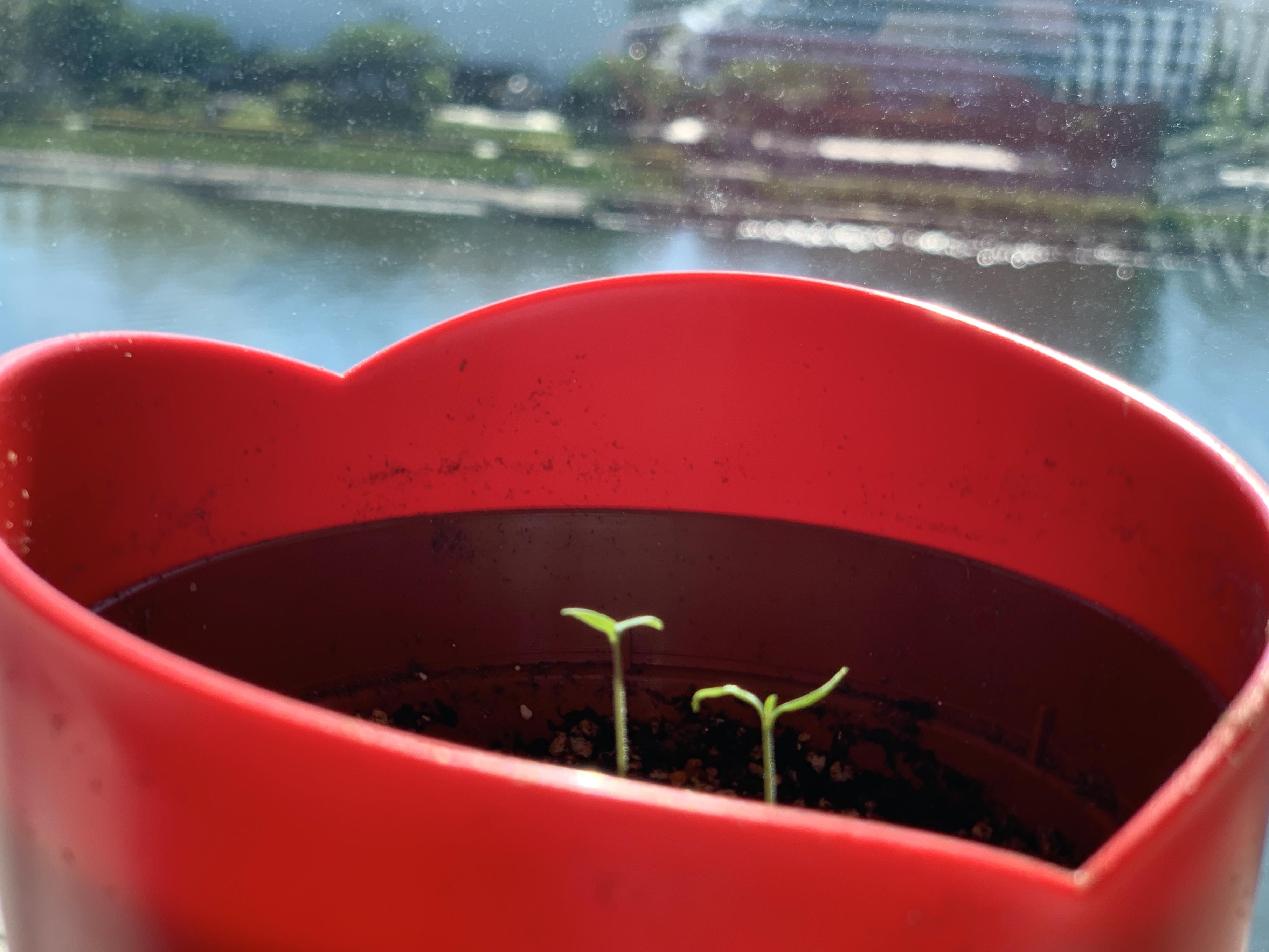 マイクロトマトの芽が出ました🌱