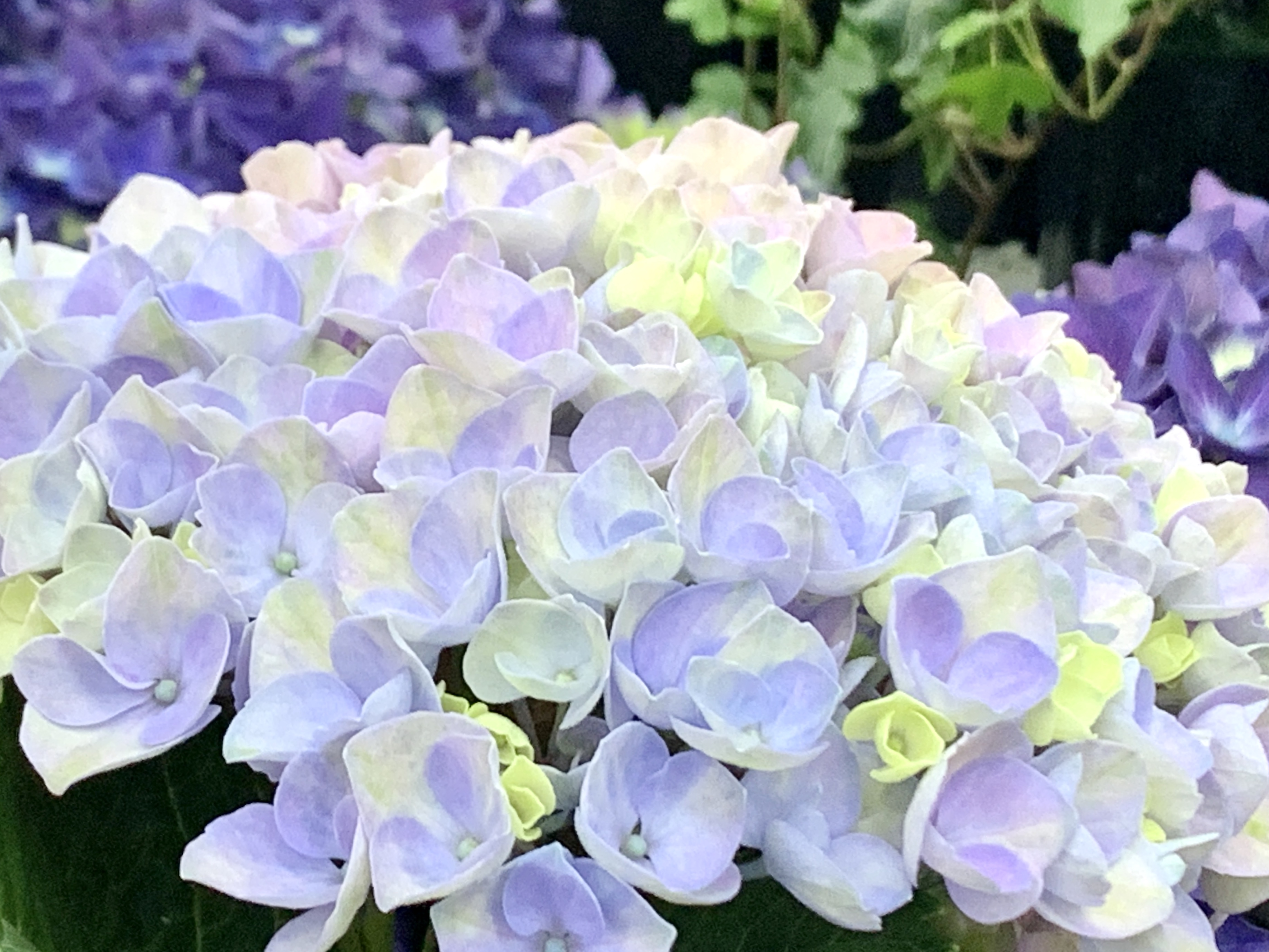今年の紫陽花は色彩豊富💐