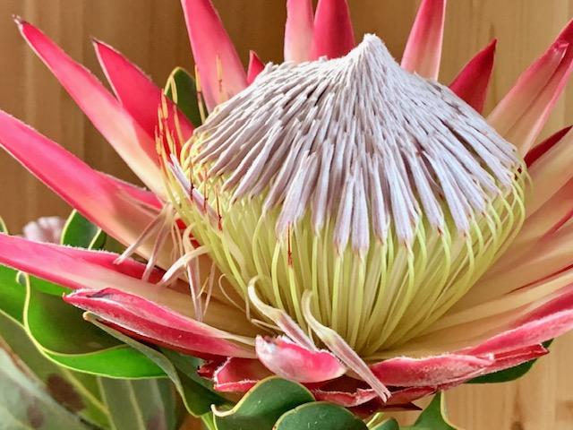 南アフリカの国花「プロテア」からエネルギーチャージ