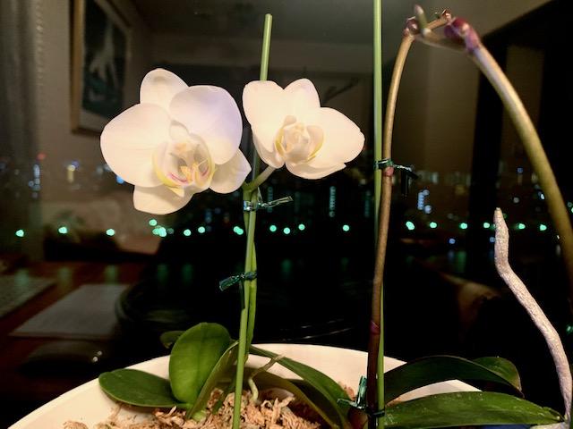 夜空にくっきり2輪目蘭の花