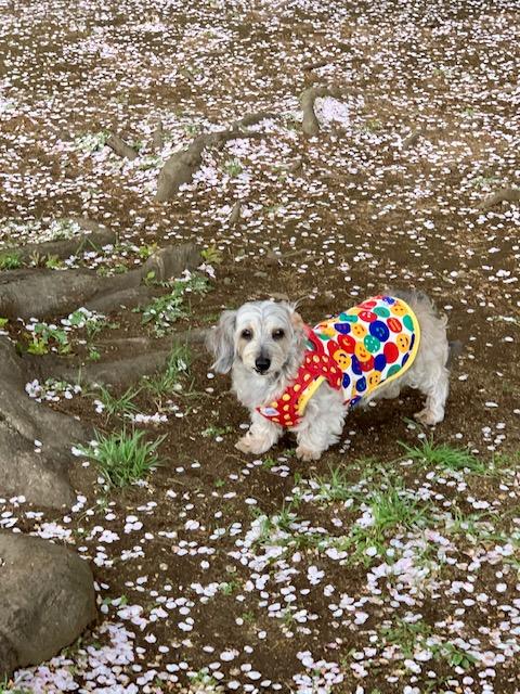 桜の絨毯にご機嫌だなちゃん