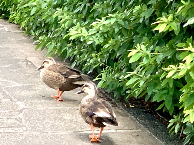 鴨もカニも夕暮れのお散歩